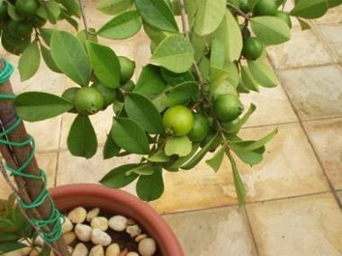 Rboles frutales para macetas fragantes y ornamentales mdz online - Plantar limonero en maceta ...